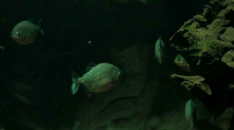 piranhas in the dark