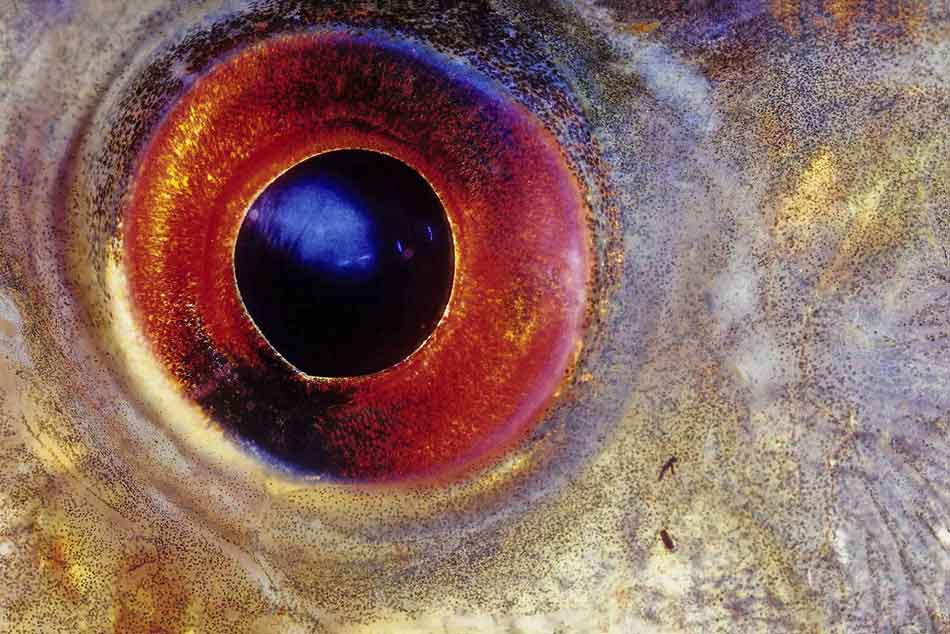piranha eye close up
