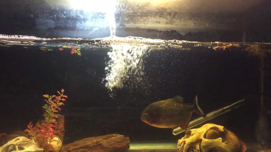 frog in a piranha tank