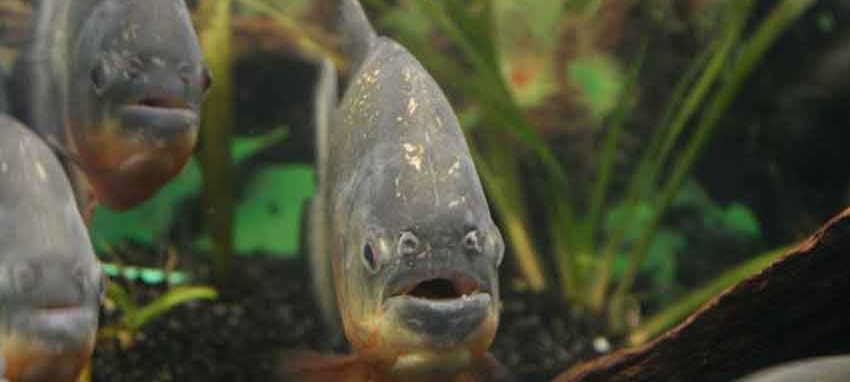 3 piranhas face on