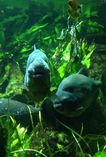 piranha in a zoo aquarium