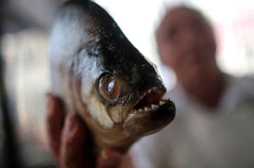 close up piranha