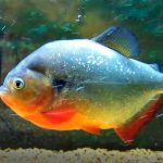 Can Piranhas Eat Pellets