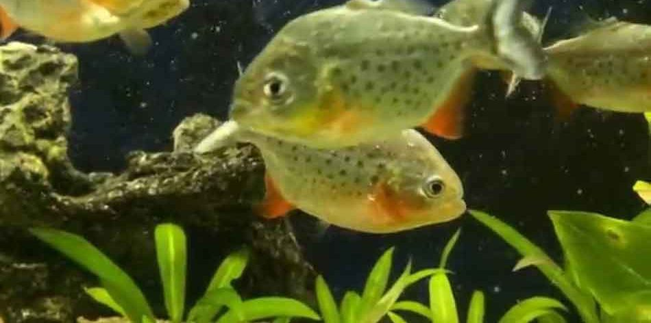 juvenile piranha side on