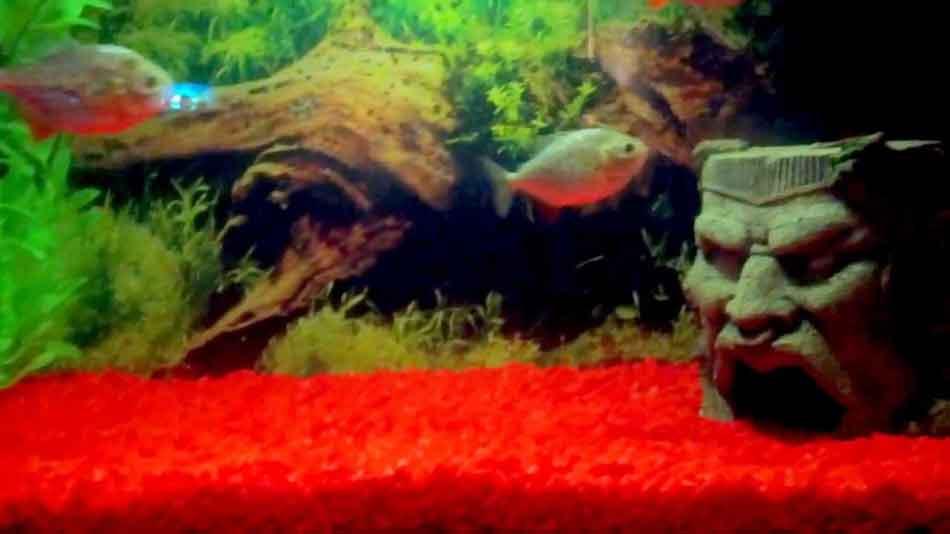 2 red bellied piranha in an aquarium