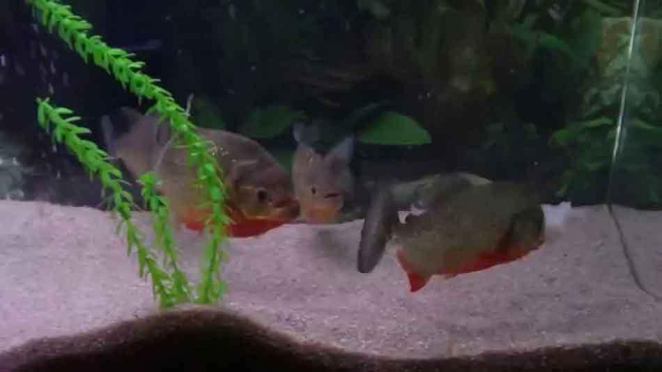 2 red bellied piranha in an aquarium with prawns