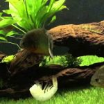 Can Piranha Eat Prawns