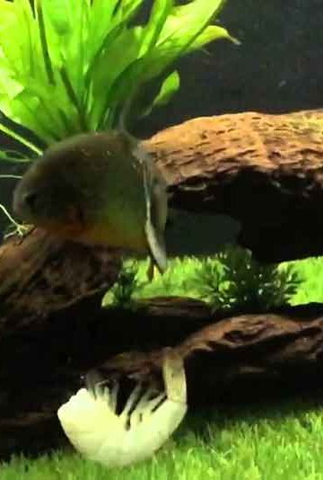 2 red bellied piranha in an aquarium with prawn