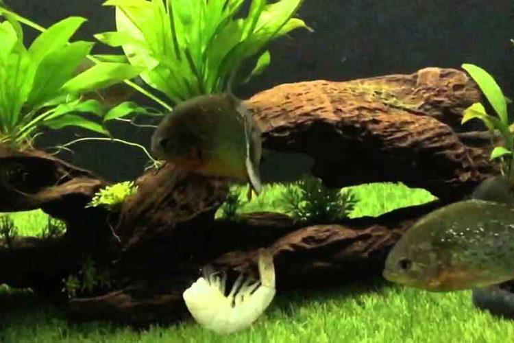 2 red bellied piranha in an aquarium with prawn