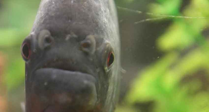 piranha face on close up