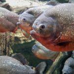 Do Piranhas Swim In Schools
