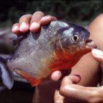 Are Piranhas Legal In Texas