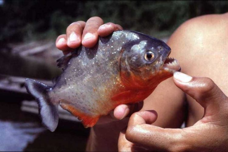 piranha caught in texas