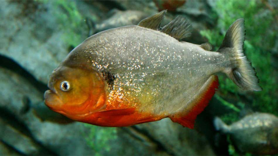 close up red bellied Piranha