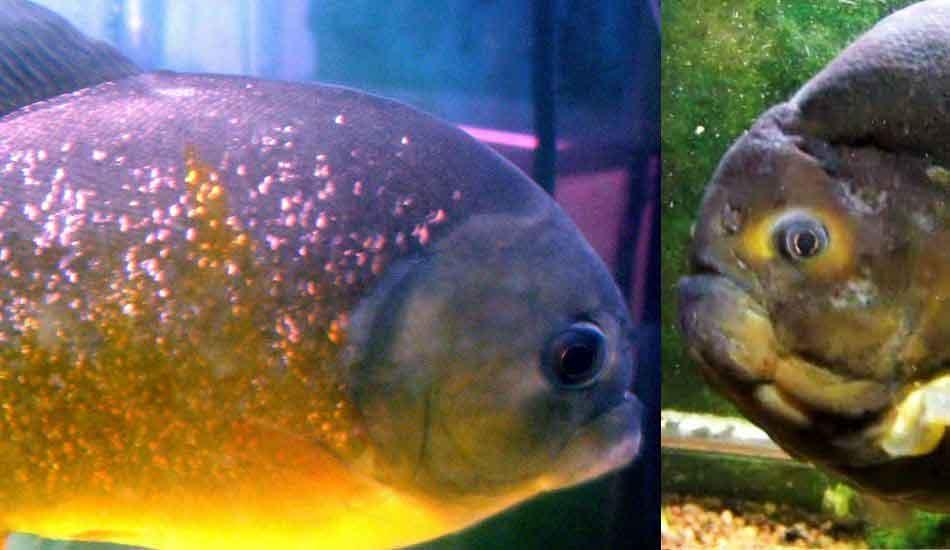 pygocentrus piraya side comparison