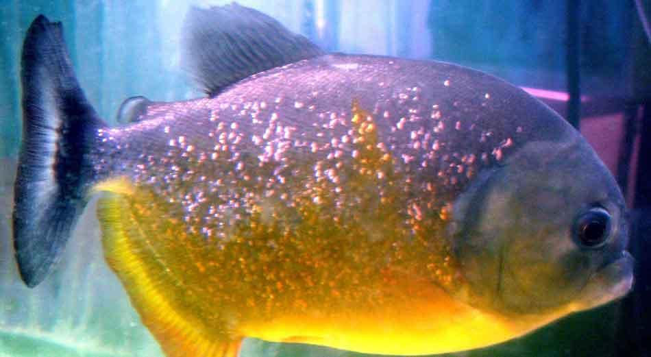 pygocentrus piraya side on in an aquarium close up