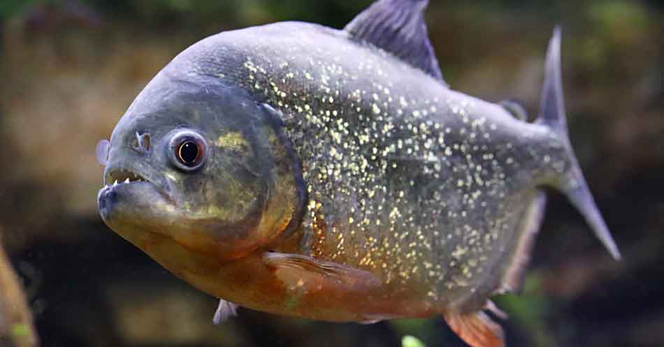 close up red bellied piranha side on