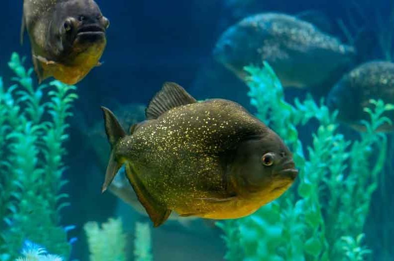 pygocentrus piraya side on in an aquarium