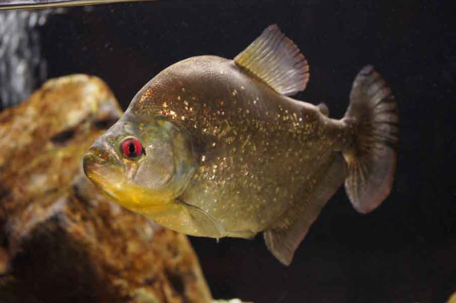 speckled piranha